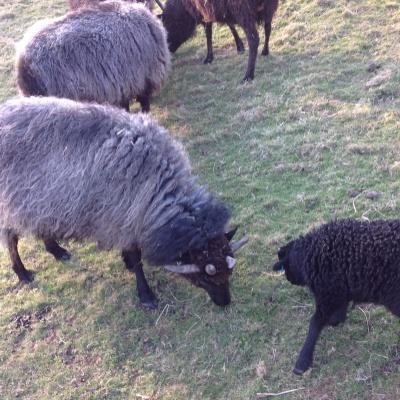 Ewes & Lambs