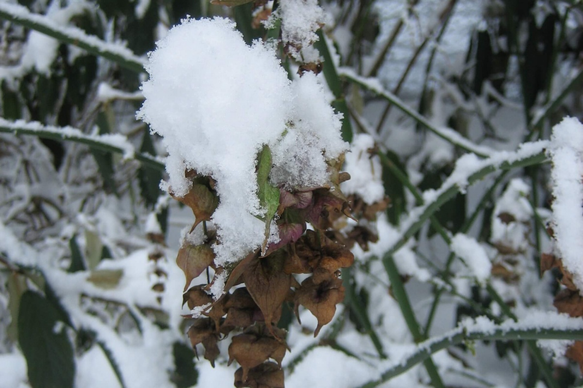 Laycesteria in Snow